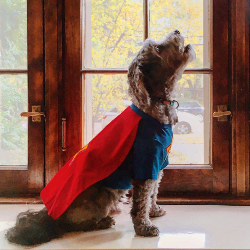 side view of a dog in a superman costume